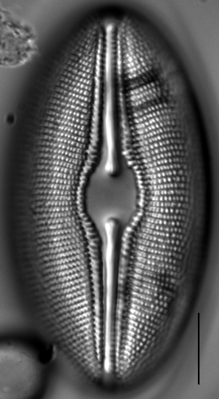 Diploneis Ovalis 2