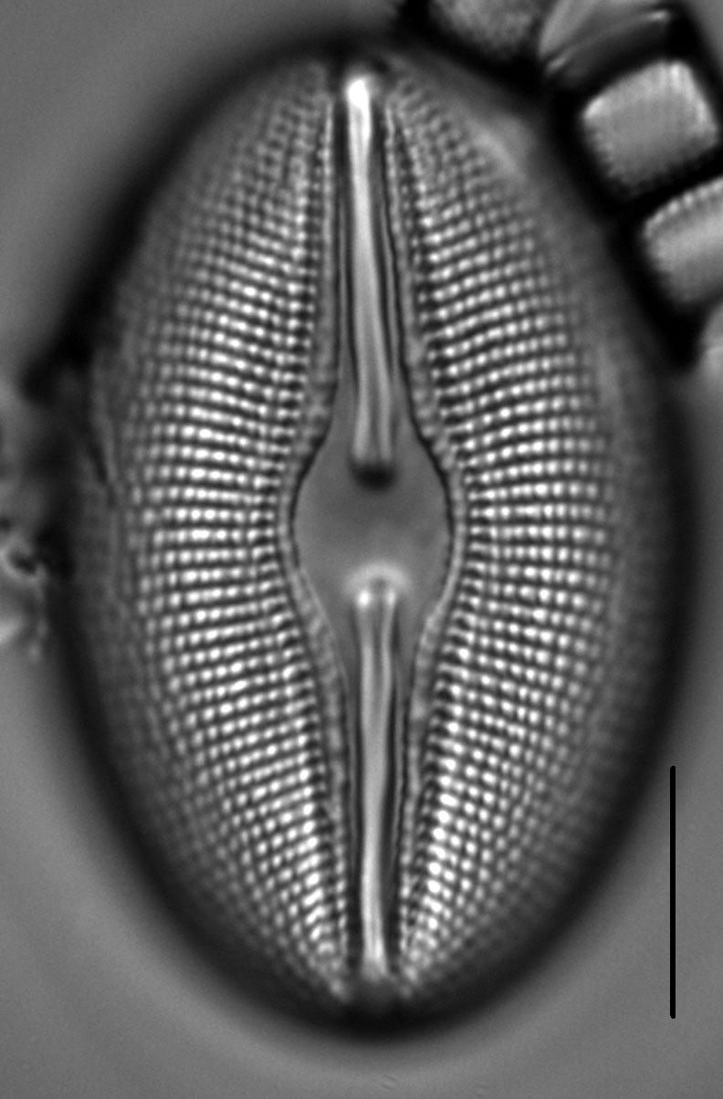 Diploneis Ovalis 4
