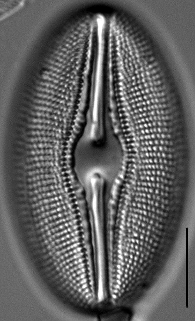 Diploneis Ovalis 5