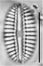 Diploneis puella LM2