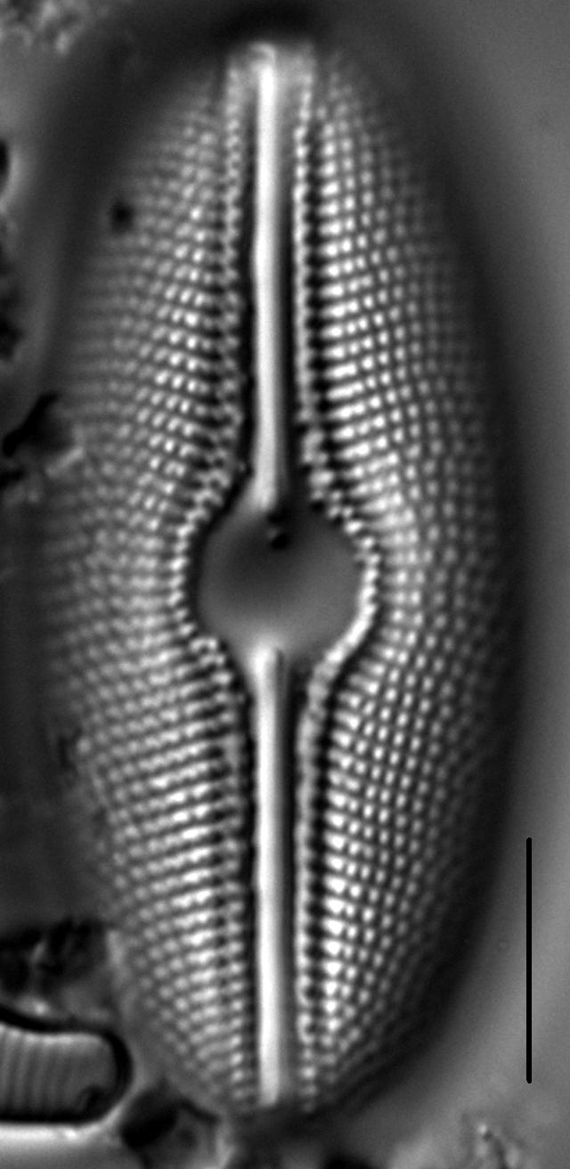 Diploneis mollenhaueri LM3