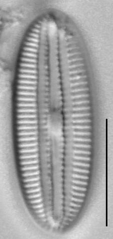 Diploneis marinestriata LM1