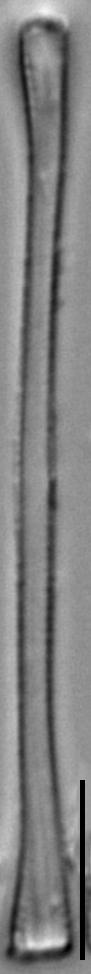 Euzasuminensis  Smm16212B 940 52 2