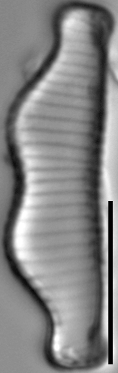 Eunotia kociolekii LM2
