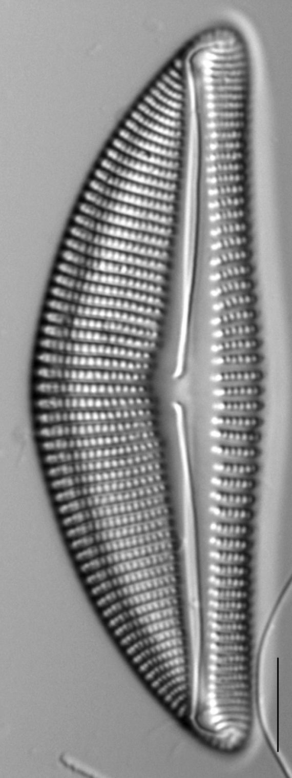 Encyonema latum LM2