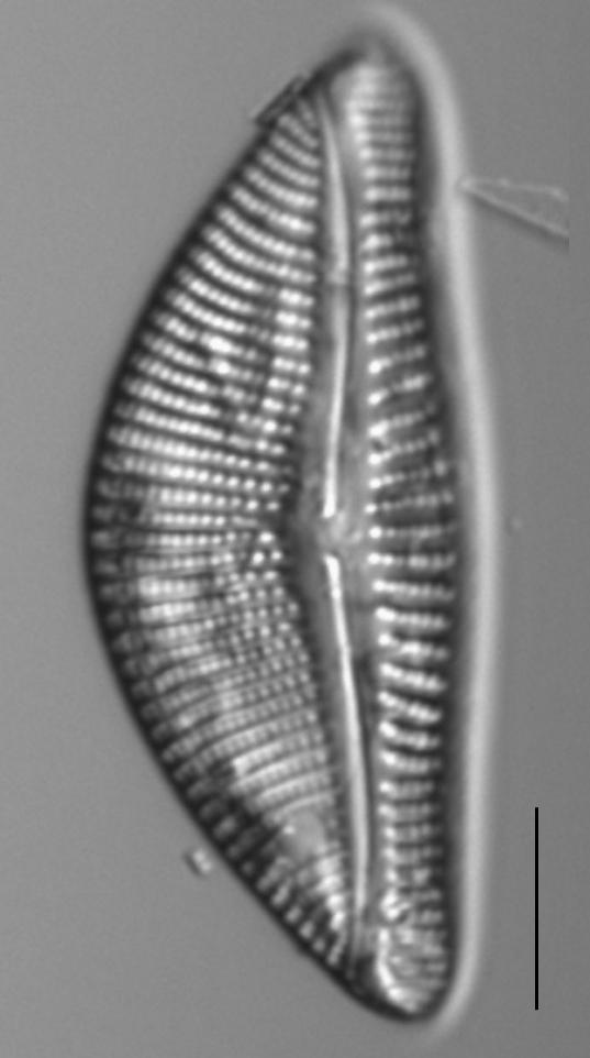 Encyonema latum LM5