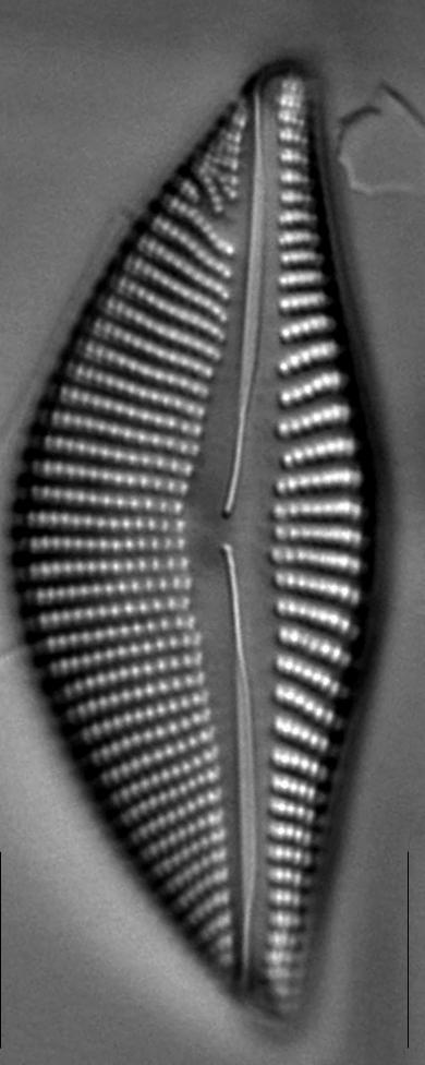 Encyonema reimeri LM3
