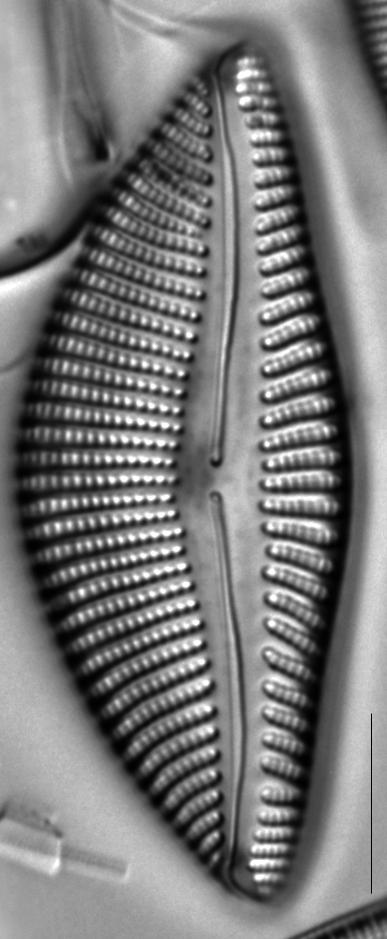 Encyonema reimeri LM4