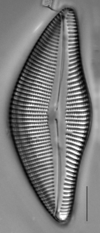 Encyonema temperei LM2