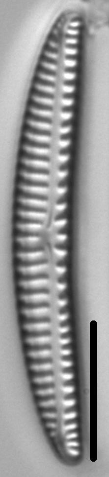 Encyonema lunatum LM5