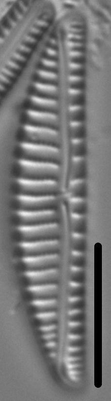 Encyonema paucistriatum LM6