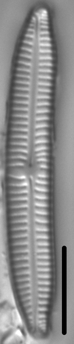Encyonema sibericum LM4