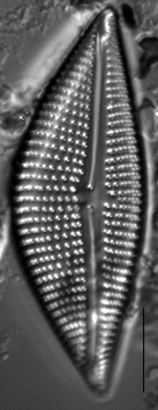 Encyonema triangulum LM5