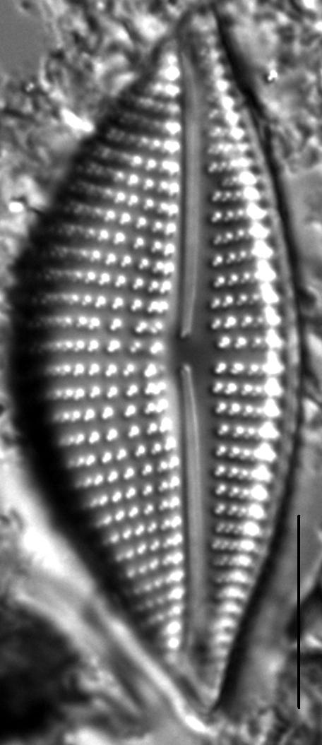 Encyonema triangulum LM7