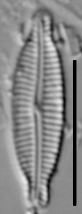 Encyonemopsis Microcephala 001