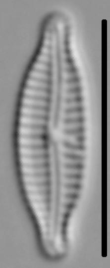 Encyonemopsis Microcephala 005