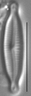 Encyonopsis Alpina 5
