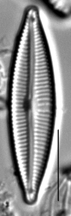 Encyonopsis Cesatiformis 6