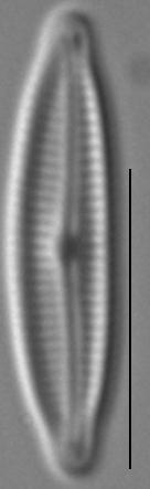 Encyonopsis Krammeri 5