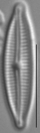 Encyonopsis Krammeri 6