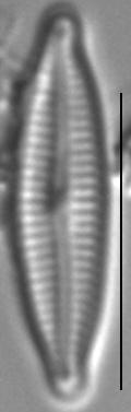 Encyonopsis Krammeri 7