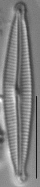Encyonopsis Montana2