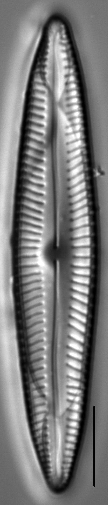 Encyonopsis Stodderi 3