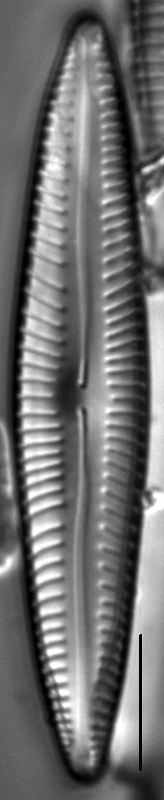 Encyonopsis Stodderi 5