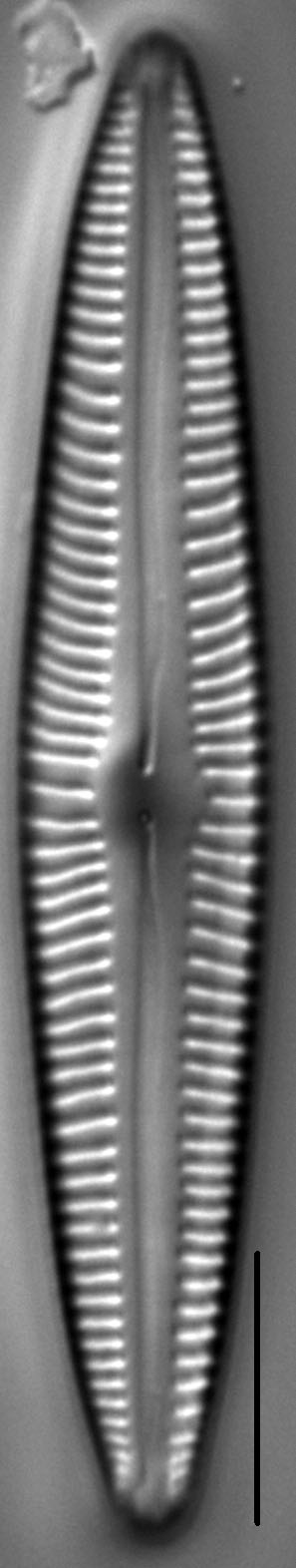 Encyonopsis Stodderi 6