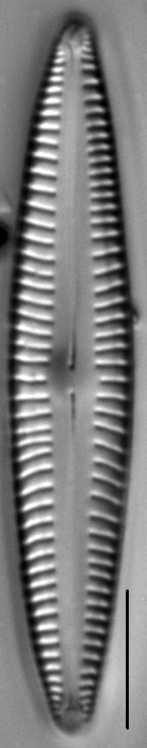 Encyonopsis Stodderi 7