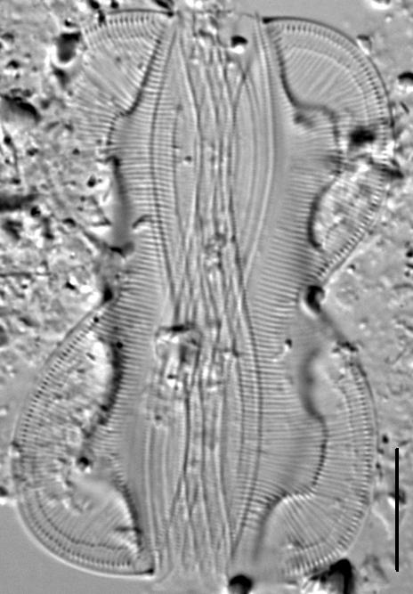 Entomoneis paludosa LM5