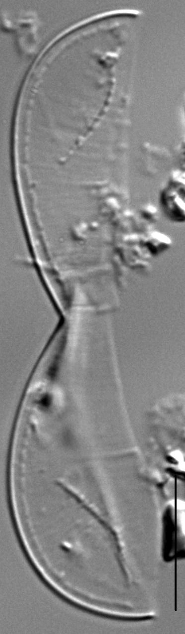Entomoneis punctulata LM1