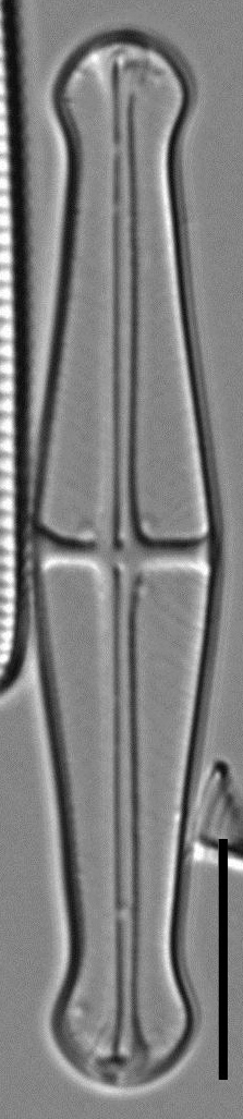 Envekadea pachycephala LM5
