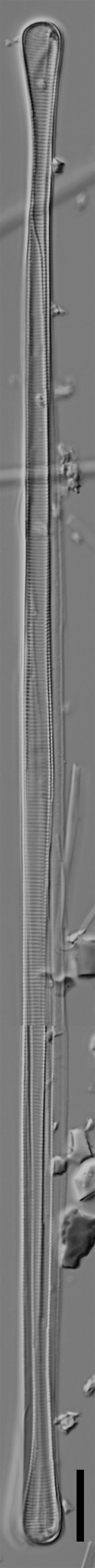 Eunotia spatulata LM1