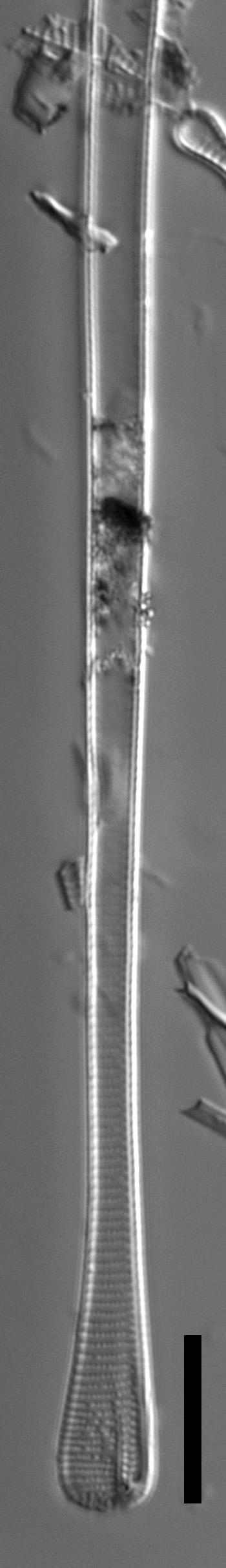 Eunotia spatulata LM4