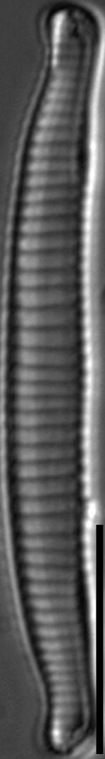 Eunotia horstii LM3