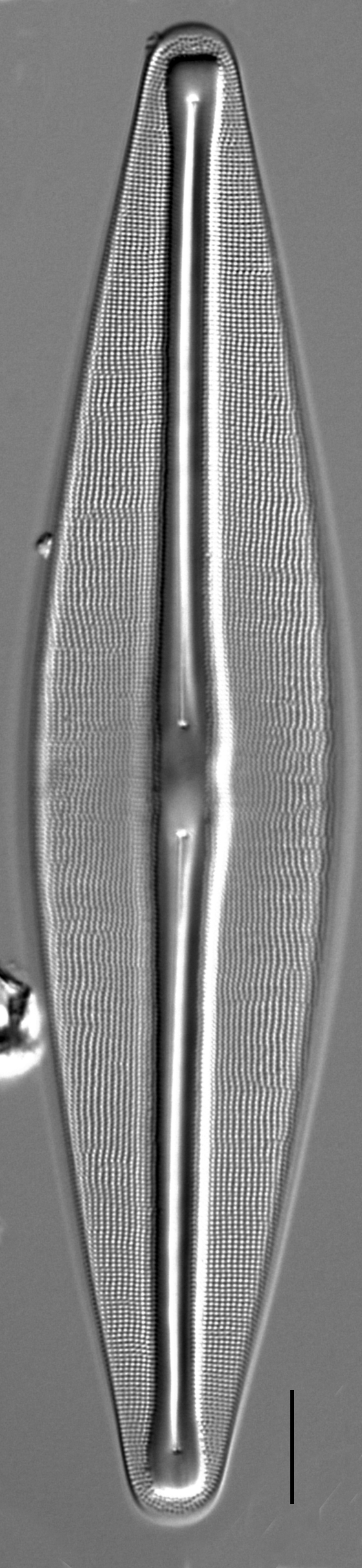 Frustulia bahlsii LM1