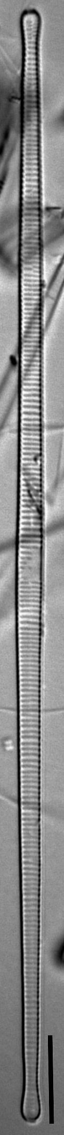 F Synegrotesca 6 125 46