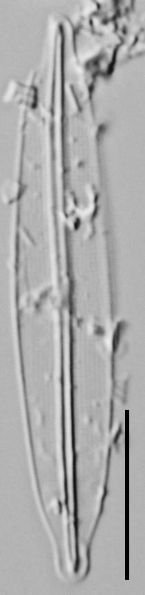 Frustulia pseudomagaliesmontana LM3