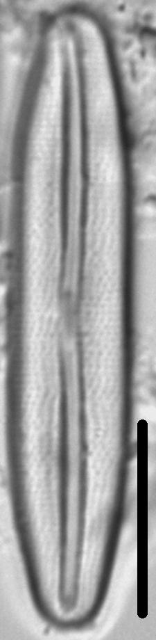 Frustulia amosseana LM6