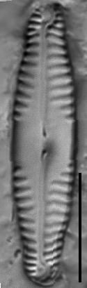 Pinnularia saprophila LM6