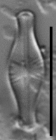 Sellaphora pulchra LM7