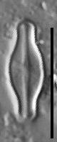 Sellaphora pulchra LM1