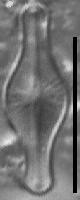 Sellaphora pulchra LM2