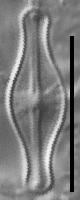 Sellaphora pulchra LM5