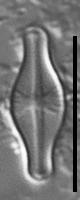 Sellaphora pulchra LM6