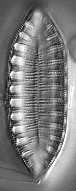 Gc1610 Amphioxys 4