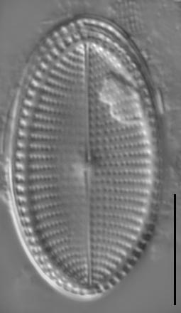 Cocconeis fluvuatilis LM2