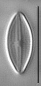 Gc57577  Holosilide 1B 1