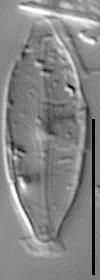 Gc58610  Nusciss  Isotype A